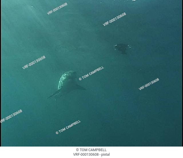 Great white shark Carcharodon carcharias follows mock fur seal pup behind boat. South Africa