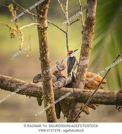 Black Cheeked Woodpecker, Maquenque National Wildlife Refuge, Costa Rica