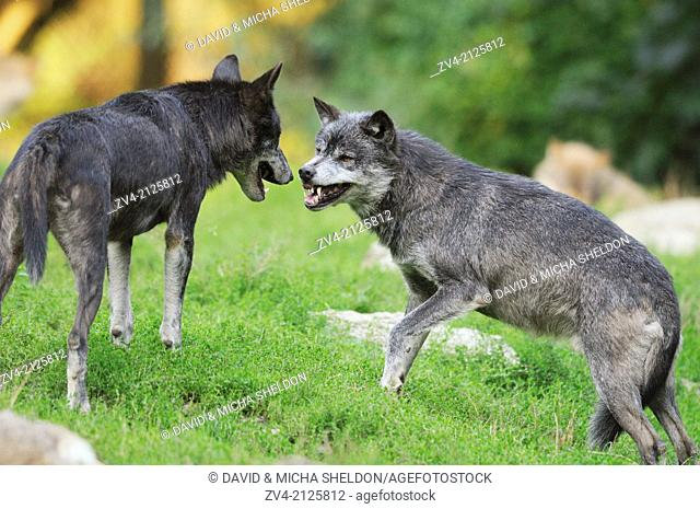 Two Eastern wolves (Canis lupus lycaon) fighting on a meadow, Germany, Europe