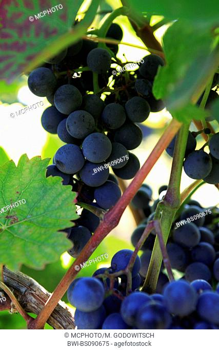grape-vine, vine (Vitis vinifera), red wine grapes, Austria, Lower Austria, Elsarn