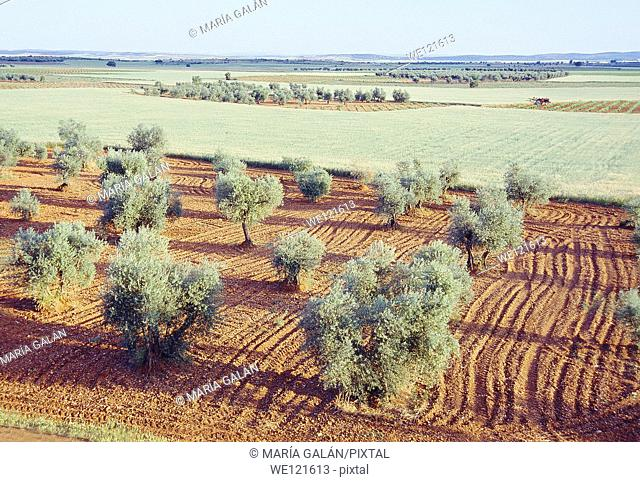 Olive grove and cereal field. Ciudad Real province, Castilla La Mancha, Spain