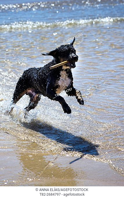 Spanish Water Dog Turkish Andalusian playing in the sea, Andalucia, Spain, Europe