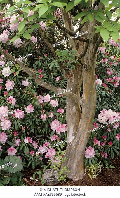 Stewartia (S. pseudocamellia) with Rhododendron (Rhododendron yakushimanum) Gossler Garden, Oregon