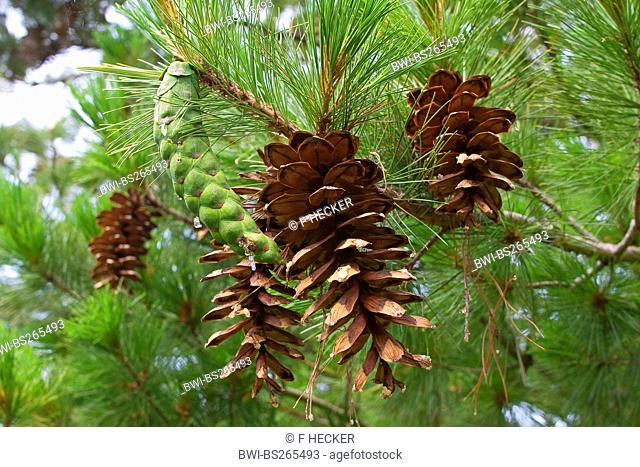 Macedonian pine, Balkan pine Pinus peuce, cones on a tree