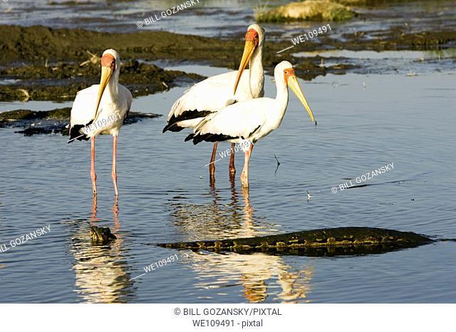 African Rock Python and Yellow-Billed Storks - Lake Nakuru National Park, Kenya