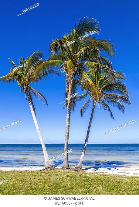 Palm trees on Gulf of Mexico in Bokeelia on Pine Island Florida