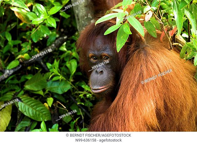 Orang-Utan (Pongo pygmaeus), standing near the trunk of a tree in dense vegetation and looking to the photographer, rainforest, Borneo, Kalimantan, Indonesia