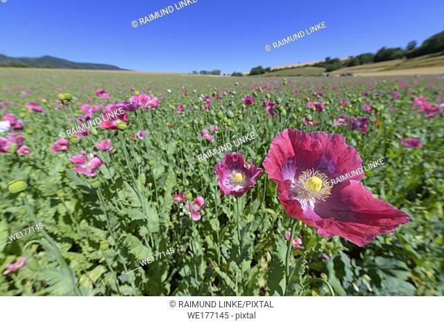 Opium poppy field, Germerode, Werra-Meissner district, Hesse, Germany