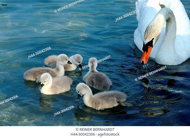 Brood, hatching, Cygnus olor, duck's birds, geese, goose's birds, Gössel, hump swan, hump swans, young hump swans, Jung's swans, Jung's birds, swan, swans