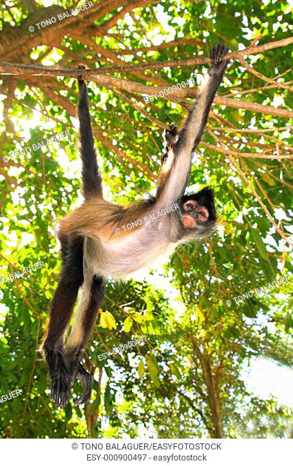 Ateles geoffroyi vellerosus Spider Monkey Central America Jungle