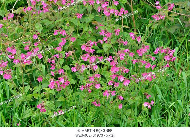 Wildflowers with sticky catchfly, Silene viscaria