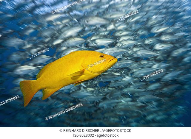 Gulf Grouper in yellow phase, Mycteroperca jordani, Cabo Pulmo, Baja California Sur, Mexico