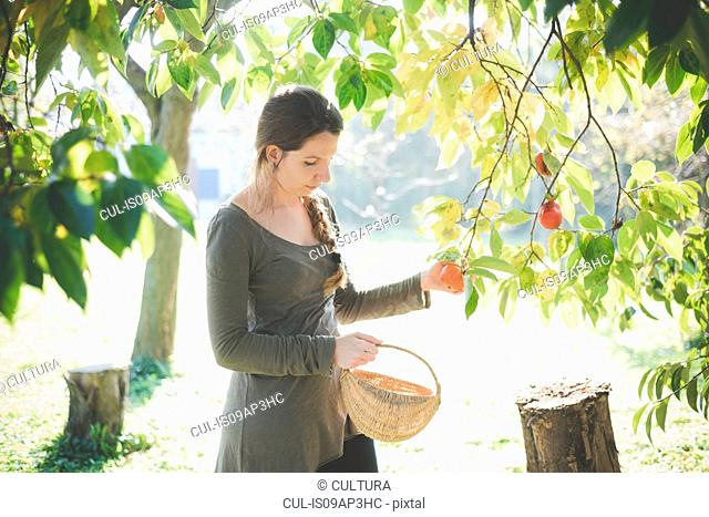 Young woman picking apple from tree