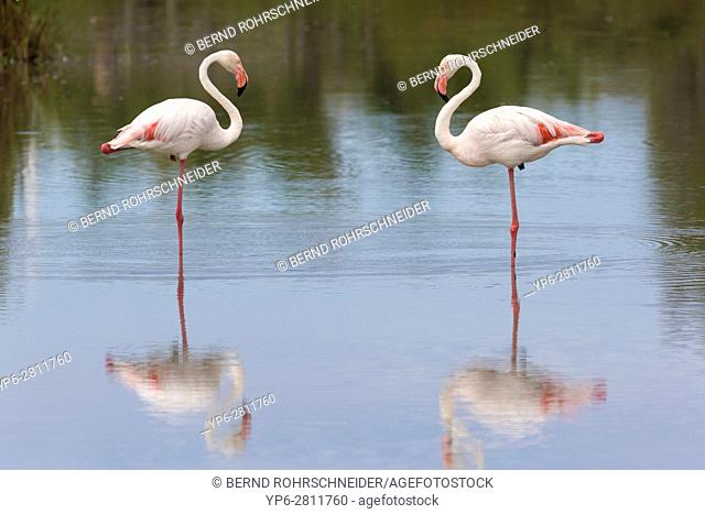 Greater flamingos (Phoenicopterus roseus) standing in water on one leg, Camargue, Bouches-du-Rhône, Provence, France