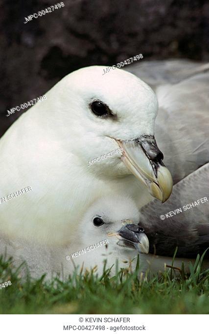 Northern Fulmar (Fulmarus glacialis) adult and chick, Foula Island, Scotland