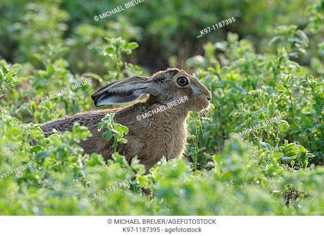European brown hare (Lepus europaeus), Summer, Germany