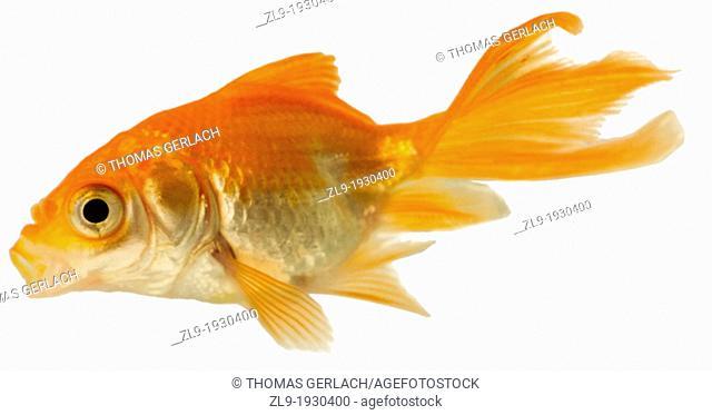 Goldfish, Carassius auratus auratus, on white background