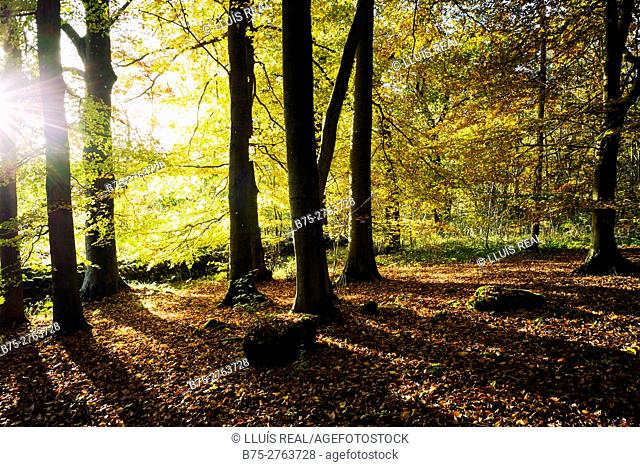 Backlit image of autumn trees in the evening. Grassington forest, Skipton, North Yorkshire, England