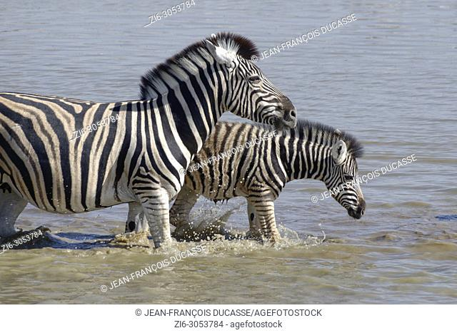 Burchell's zebras (Equus quagga burchellii), mother and foal crossing the Okaukuejo waterhole, Etosha National Park, Namibia, Africa