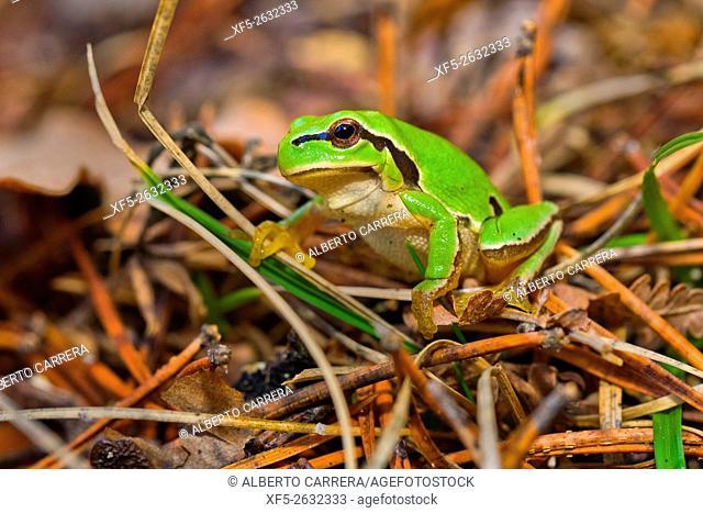 European Tree Frog, Hyla arborea, Ranita de San Antonio, Valsain Forest, Guadarrama National Park, Segovia, Castilla y León, Spain, Europe