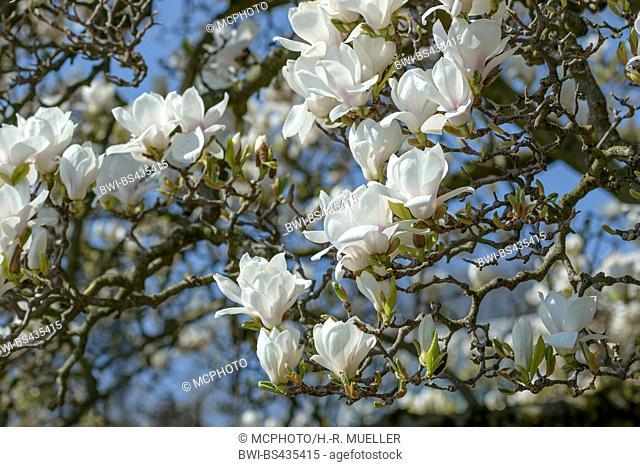 magnolia (Magnolia 'Amabilis', Magnolia Amabilis), cultivar Amabilis