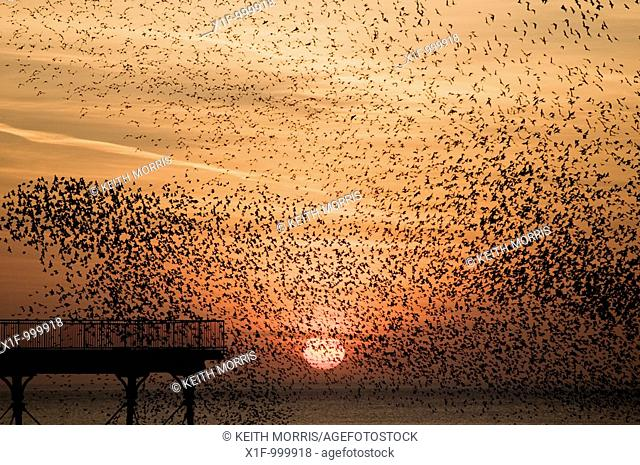 a murmuration of starlings at sunset, Aberystwyth Wales UK