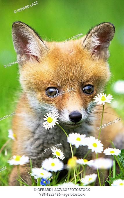 RED FOX vulpes vulpes, PUP WITH FLOWERS, NORMANDY IN FRANCE