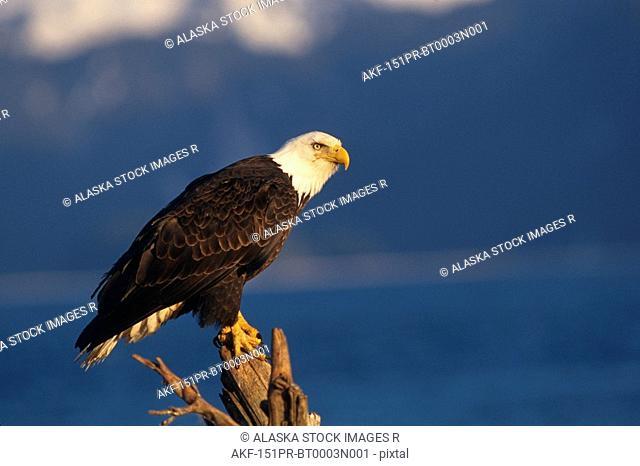 Bald Eagle Perched on log Kachemak Bay Winter AK