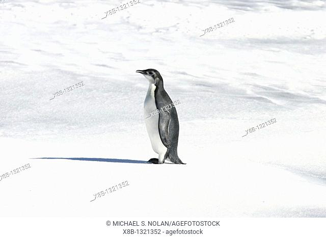 Emperor penguin Aptenodytes forsteri from a recently discovered colony on Snowy Hill in the Weddell Sea  This may be the northernmost Emperor penguin colony in...