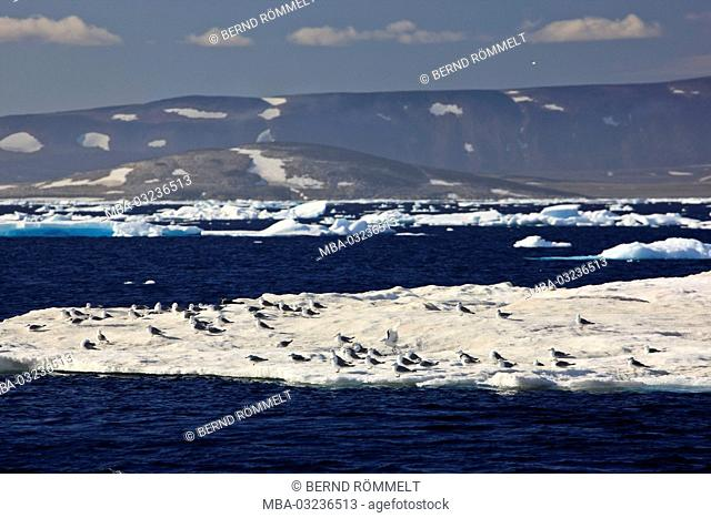 Greenland, East Greenland, Scoresbysund, pack ice, coastal scenery, mountain landscape, kittiwake