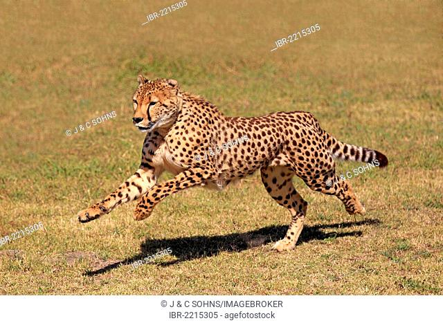 Cheetah (Acinonyx jubatus), adult, hunting, running, South Africa, Africa