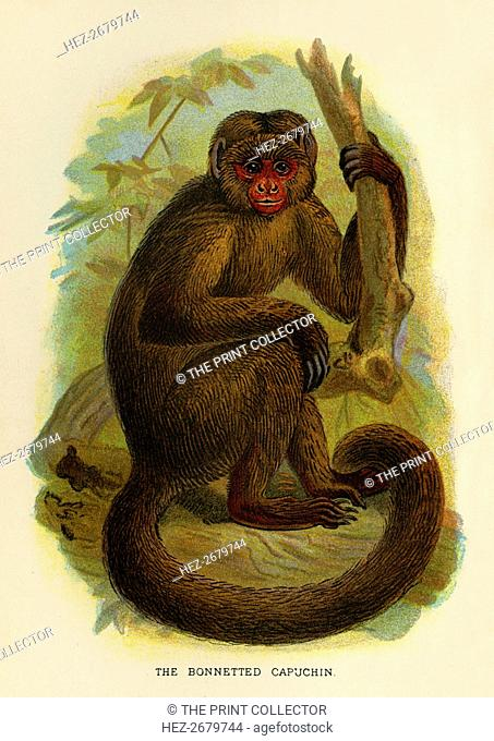 'The Bonneted Capuchin', 1896. Artist: Henry Ogg Forbes