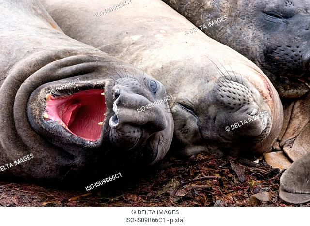 Southern elephant seals (Mirounga leonina), resting, Port Stanley, Falkland Islands, South America
