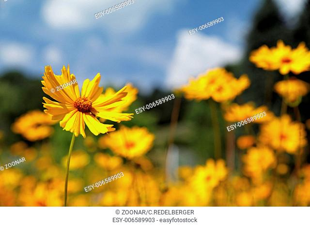 Yellow Coreopsis pubescens