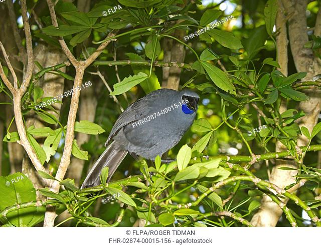 North Island Kokako Callaeas cinerea wilsoni adult, feeding on leaves, Tiritiri Matangi Island, Hauraki Gulf, North Island, New Zealand, november