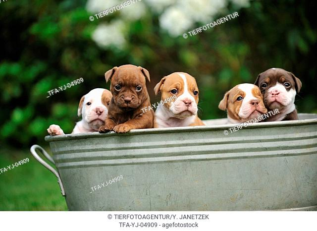 Renascence Bulldog Puppies
