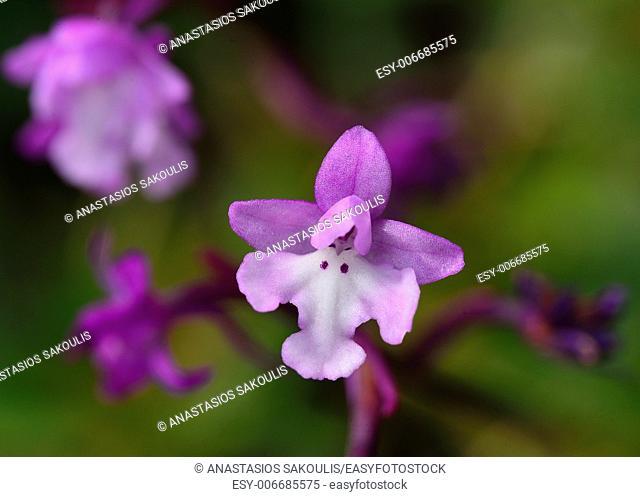 Four-spotted Orchis - Anacamptis quandripunctata, Crete