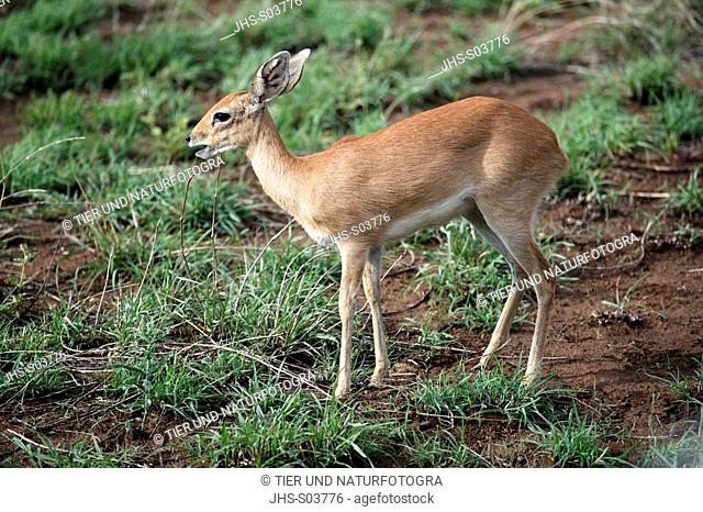 Steenbok,Raphicerus campestris,Kruger National Park,South Africa,SabiSabi Game Reserve,adult female