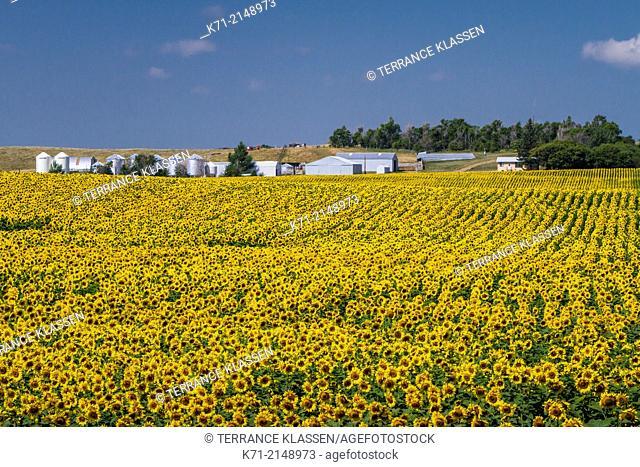 A field of blooming sunflowers near Linton, North Dakota, USA