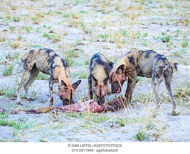 Botswana. Wild Dog