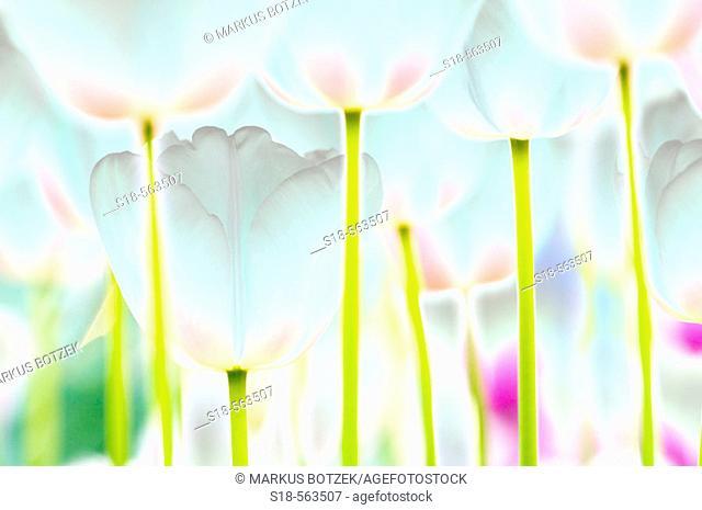 Tulip (Tulipa sp.)