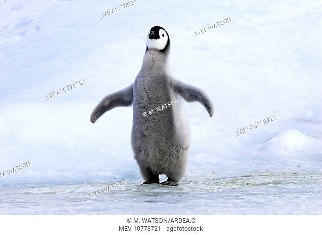 Emperor Penguin - chick 'singing' (Aptenodytes forsteri)