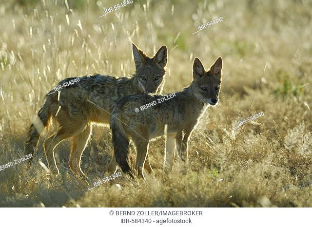 Black backed Jackals (Canis mesomelas), young animals in back light