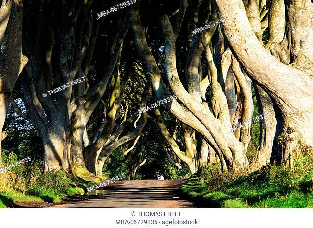 Avenue with iconic trees, Bregagh Road, Ballymoney, Northern Ireland