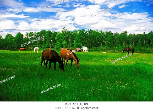 Range horses grazing in green farmlands during Swedish summer near Flen