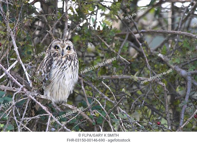 Short-eared Owl Asio flammeus adult, perched in hedgerow, winter roost site, Norfolk, England, november