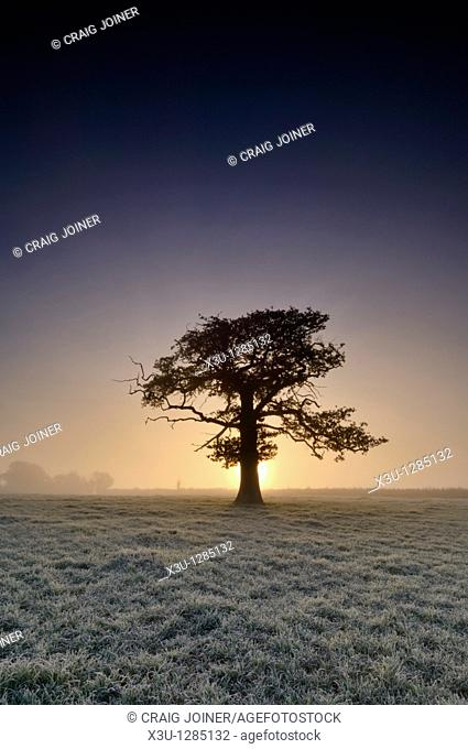 A tree stands in frosty farmland at sunrise  Wrington, North Somerset, England United Kingdom