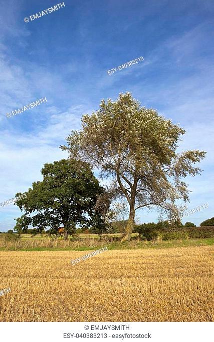 a white poplar with an oak tree beside a stubble field under a blue sky in late summer