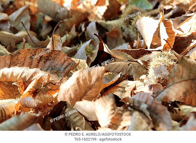 Chestnut leaves on the floor. Autumn colors