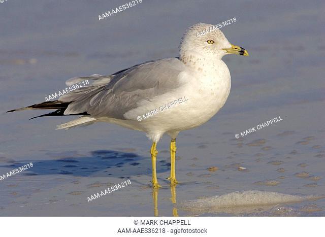 adult ring-billed gull, winter plumage (Larus delawarensis) Florida, USA